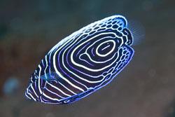BD-130402-Tulamben-9118-Pomacanthus-imperator-(Bloch.-1787)-[Emperor-angelfish.-Äkta-kejsarfisk].jpg